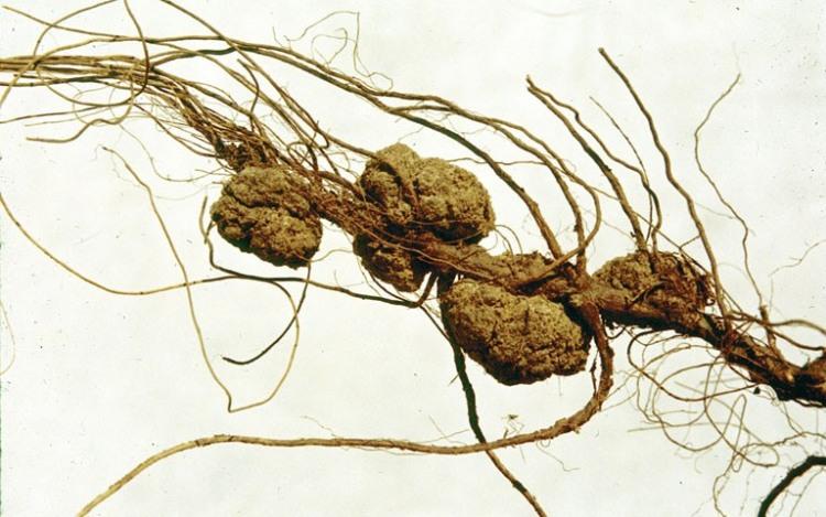 Agrobacteriumgall