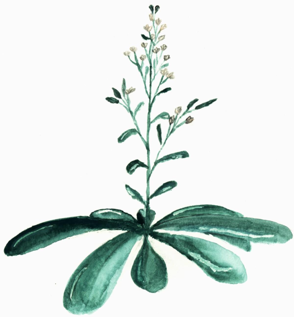 Gouache-arabidopsis-thaliana