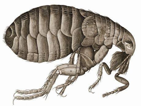 Robert Hooke: Robert Hooke's drawing of a flea in his Micrographia. source: wikimedia