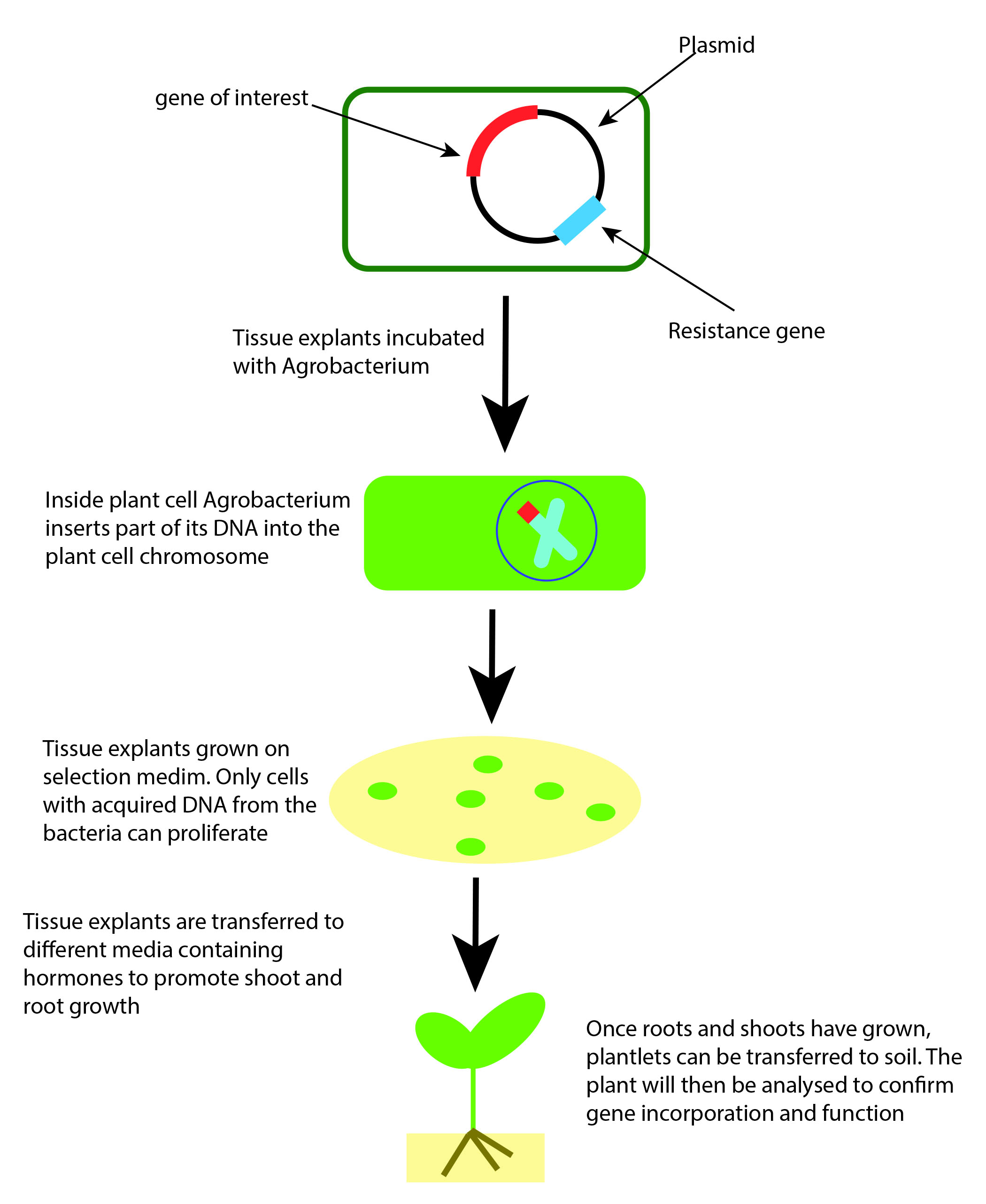 What Is Plant Transformation: Stable Transformation