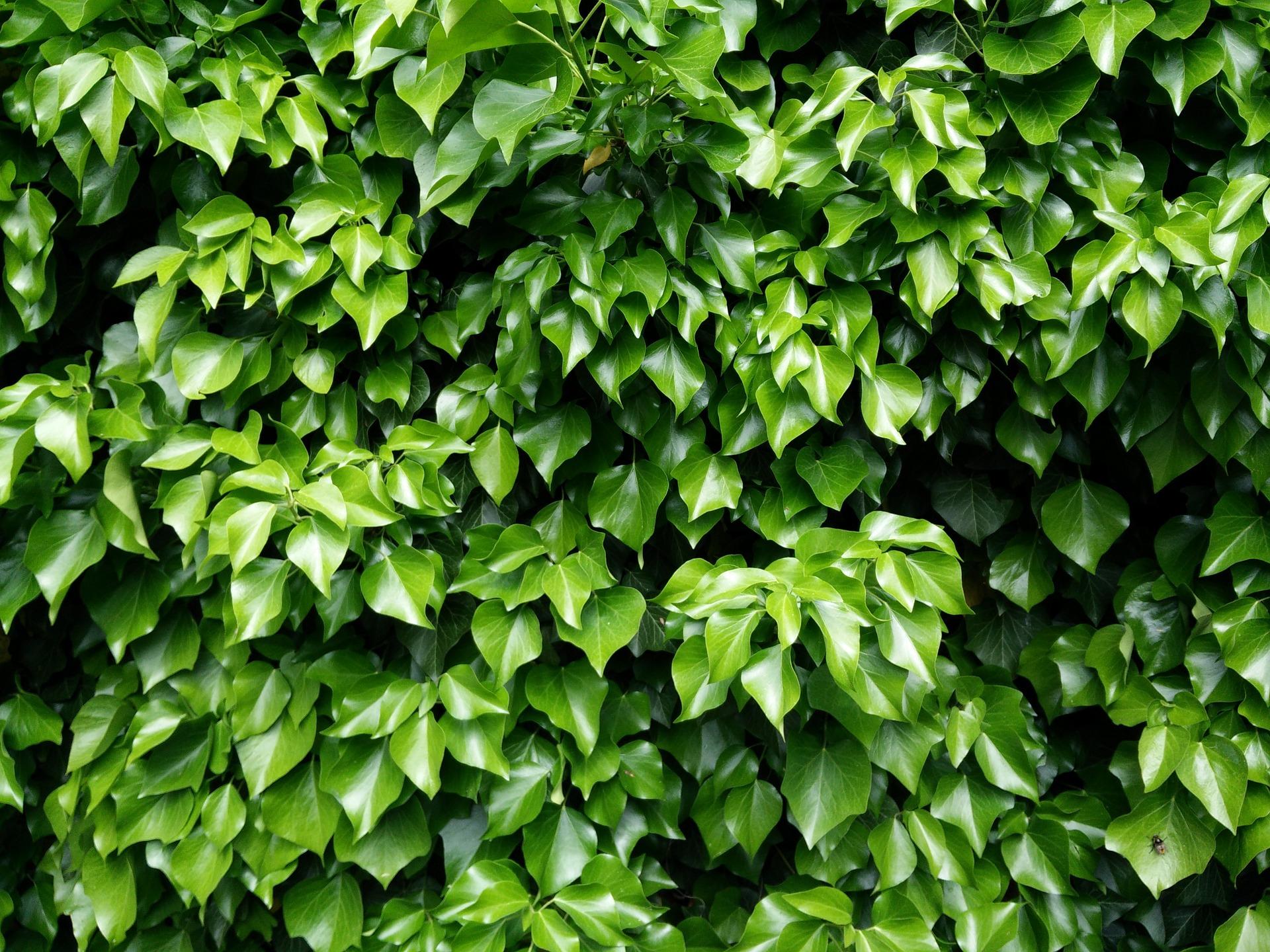 ivy-783084_1920.jpg