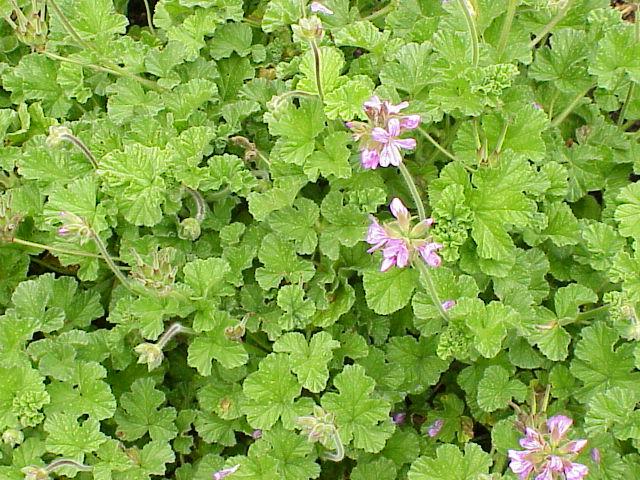 Pelargonium_capitatum1