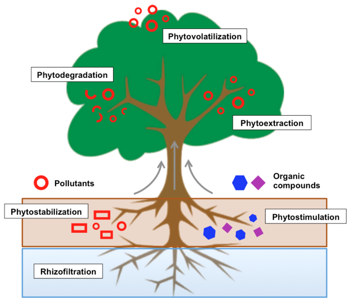 Phytoremediation_Process.png