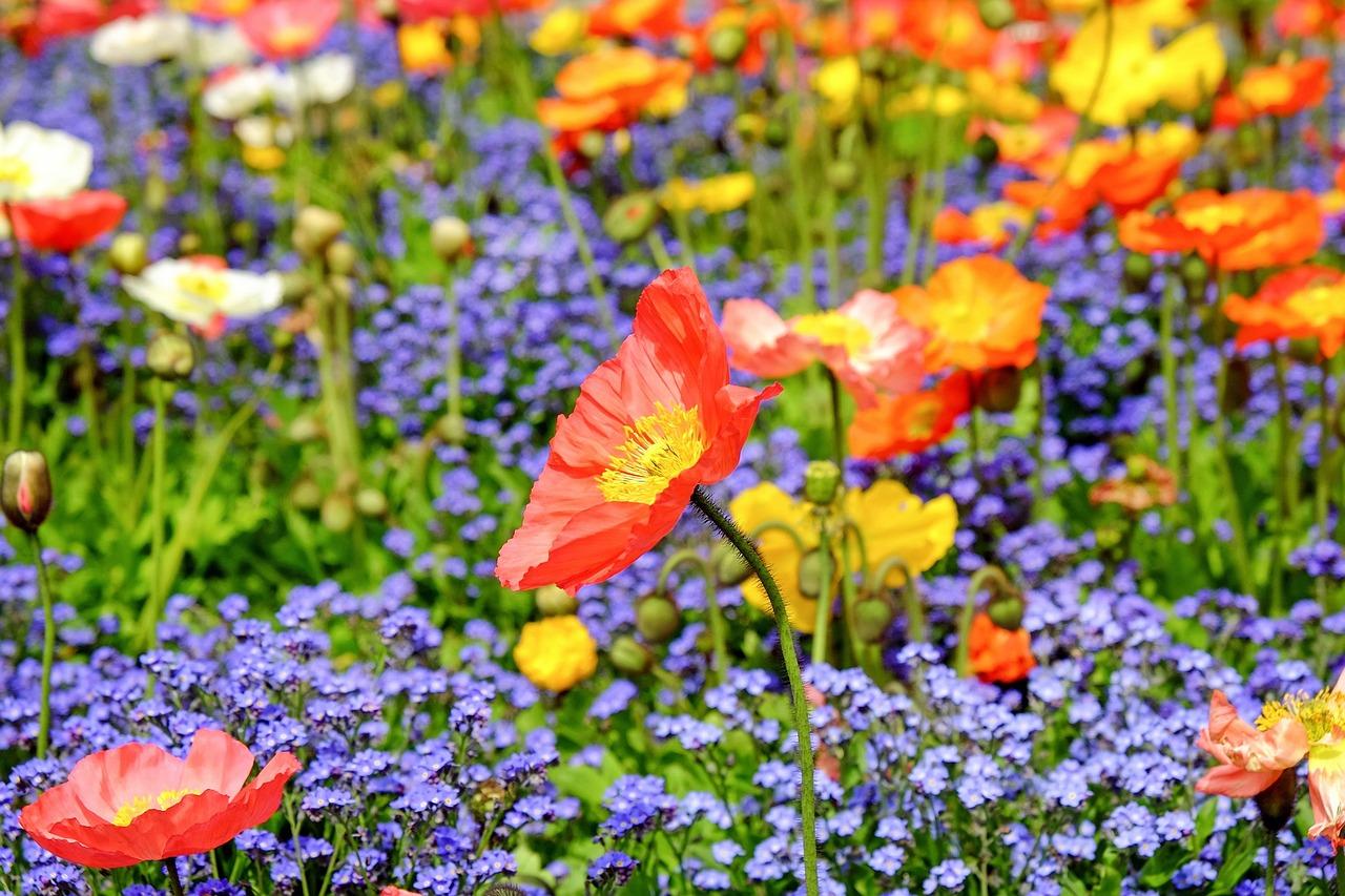 poppy-1346086_1280