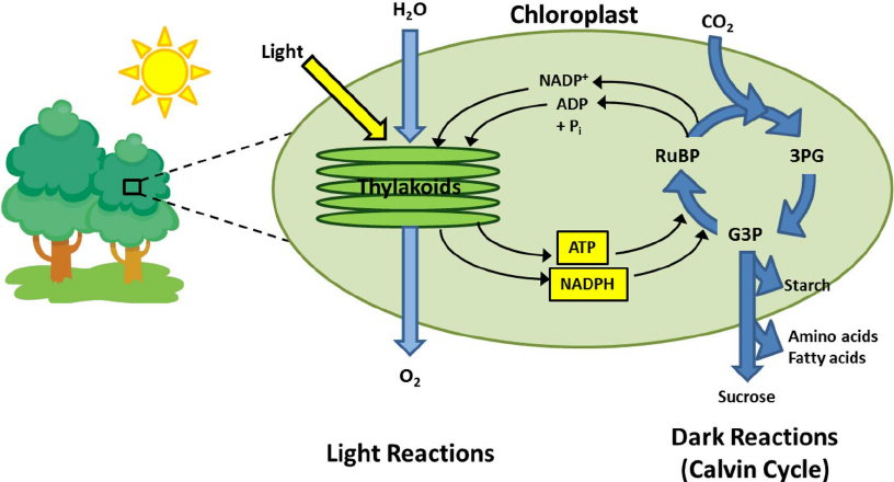 Photosynthesis-is-an-energy-conversion-process-which-occurs-in-plants-and-certain-types