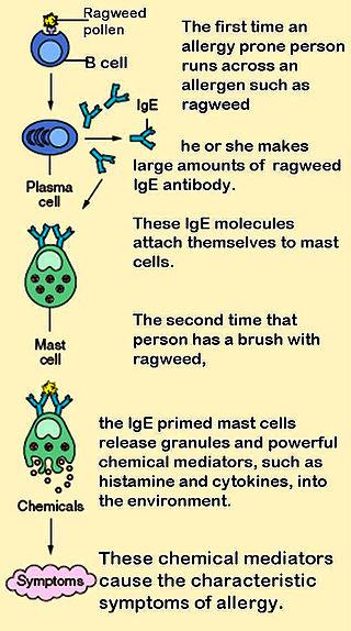 320px-Mast_cells