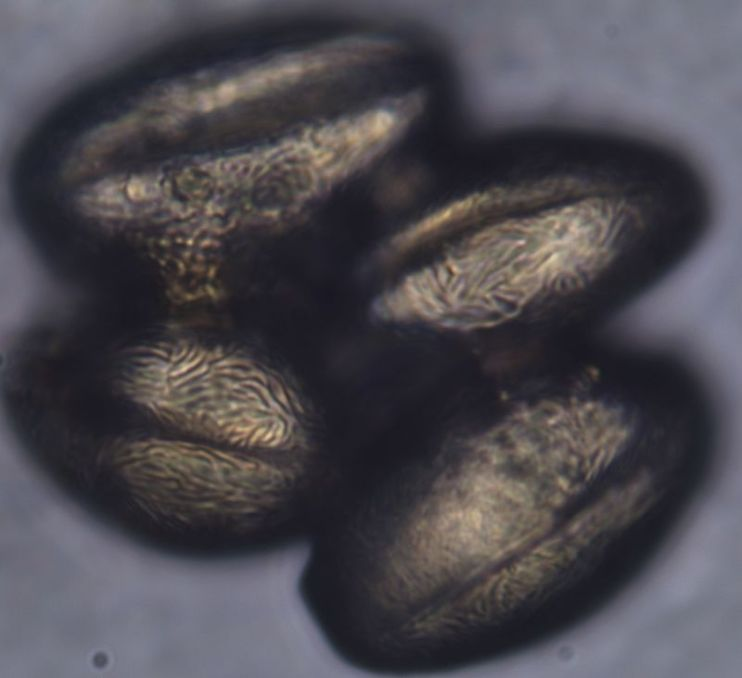 Pollen from Norway Maple tree, Acer Platanoides (wikimedia)