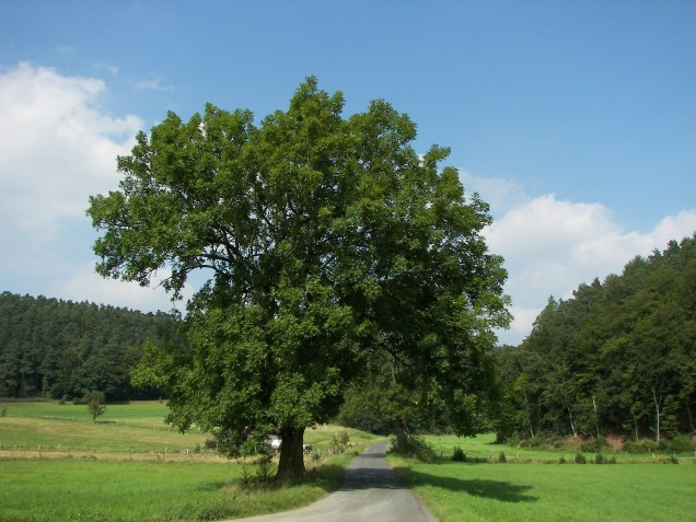 European Ash (Fraxinus excelsior) in the Burgwald, Hesse, Germany (source:wikimedia)
