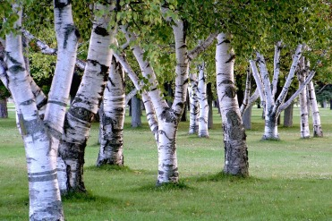 Silver Birch tree: source Pixabay