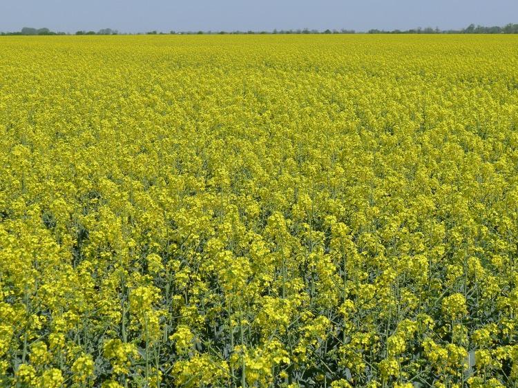 oil-seed-rape-1820159_1920