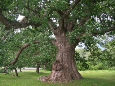 White Oak Tree: source Msact at English Wikipedia