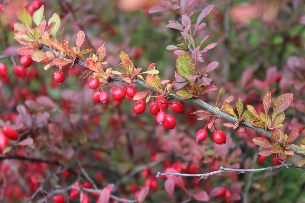 barberry-2824475_1920